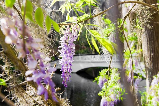 Magnolia Wisteria and Bridge